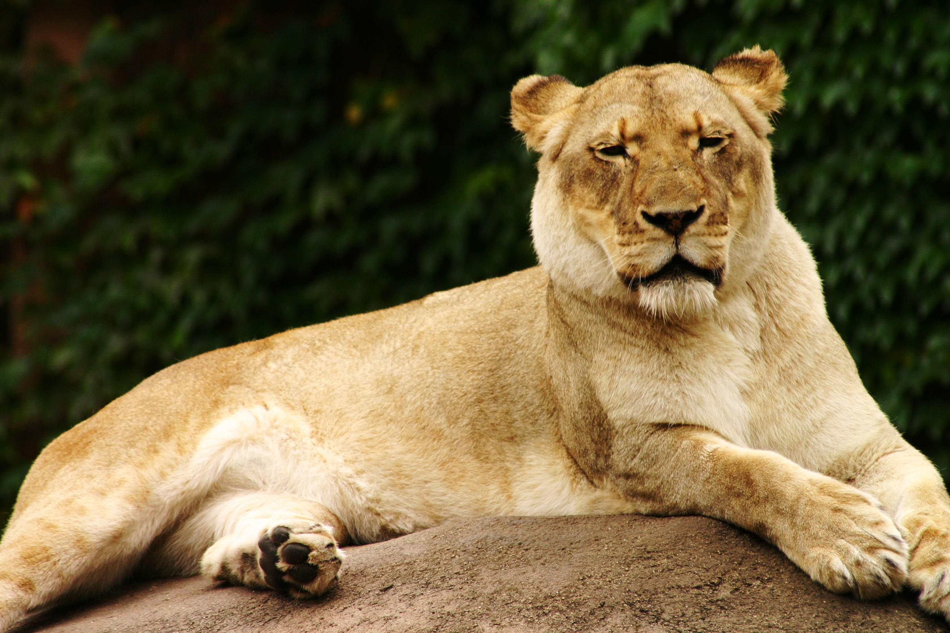 female-lion-images-photos